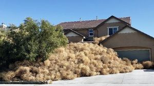 Tumbleweed Trouble: Homeowners Overrun by Thorny Terrors