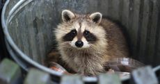Is That Raccoon Rabid? And Other Backyard Wildlife Questions, Answered