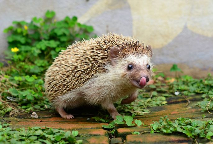 The hedgehog may seem prickly, but it's just shy.
