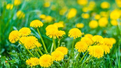 They're Not All Bad! 6 Beneficial Garden Weeds You Shouldn't Pull