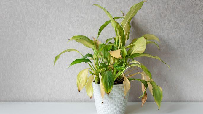 dying houseplant