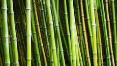 You and Bamboo: How To Manage This Highly Invasive Garden Favorite