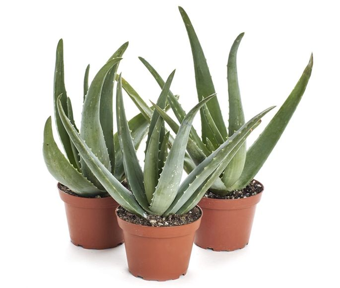 Keep an aloe plant around in case of accidents.