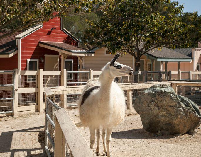 Llama at the petting zoo