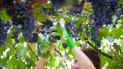 I Grew a Vineyard in My Backyard—Jealous? Here's How You Can, Too