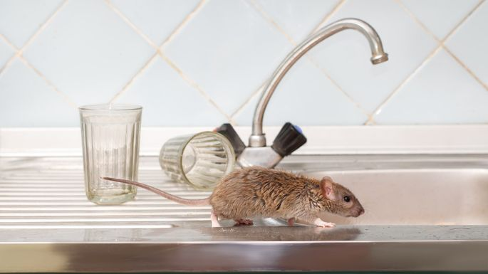 Closeup young rat prowls on the sink at kitchen on background of two faceted glasses. Fight with rodents in the apartment. Extermination.