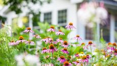 7 Drought-Tolerant Flowering Perennials That Will Add Color to Any Yard