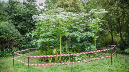 Giant Hogweed Attack! It Burns, It Blinds, and It May Be in Your Own Backyard