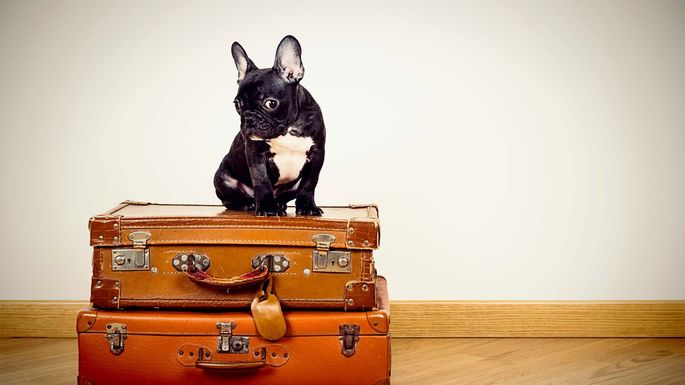 french-bulldog-on-suitcases