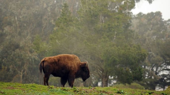 Where bison may roam: Golden Gate Park