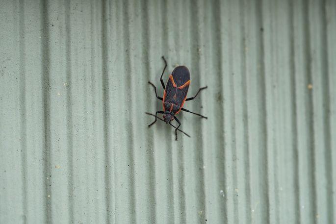 Eastern boxelder bug on a wall